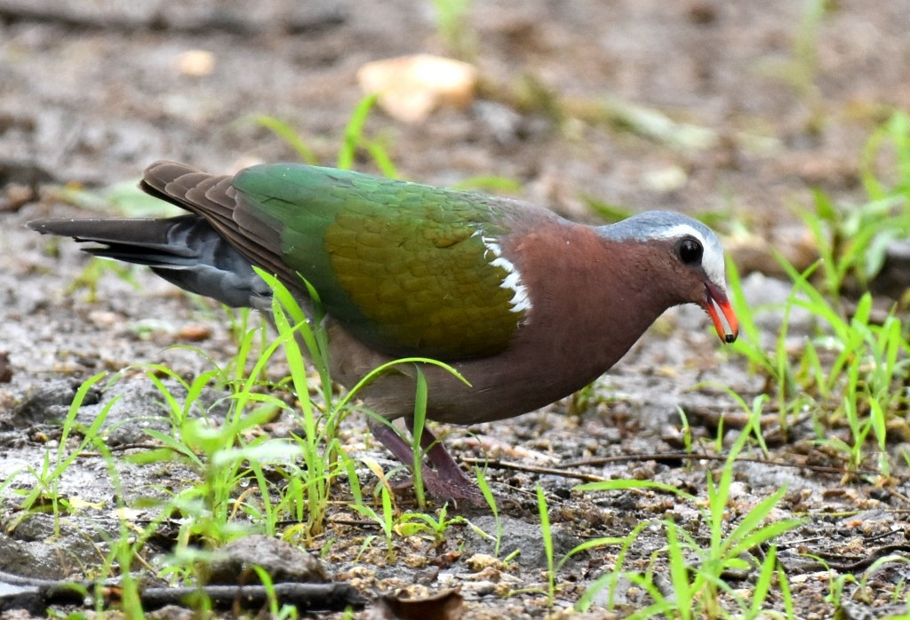Asian doves and pigeons would make any New World birder jealous, such as this Asian emerald Dove, recently split from its relative the Pacific Emerald Dove. Photo Dr Sumit Chakrabarti/Macaulay Library.