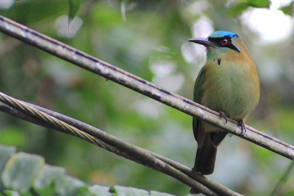 All other motmots from the Blue-crowned Motmots have dark in the central crown, but this Blue-capped Motmot from Veracruz shows that species' unique entirely blue cap. Photo Margarita López/Macaulay Library.