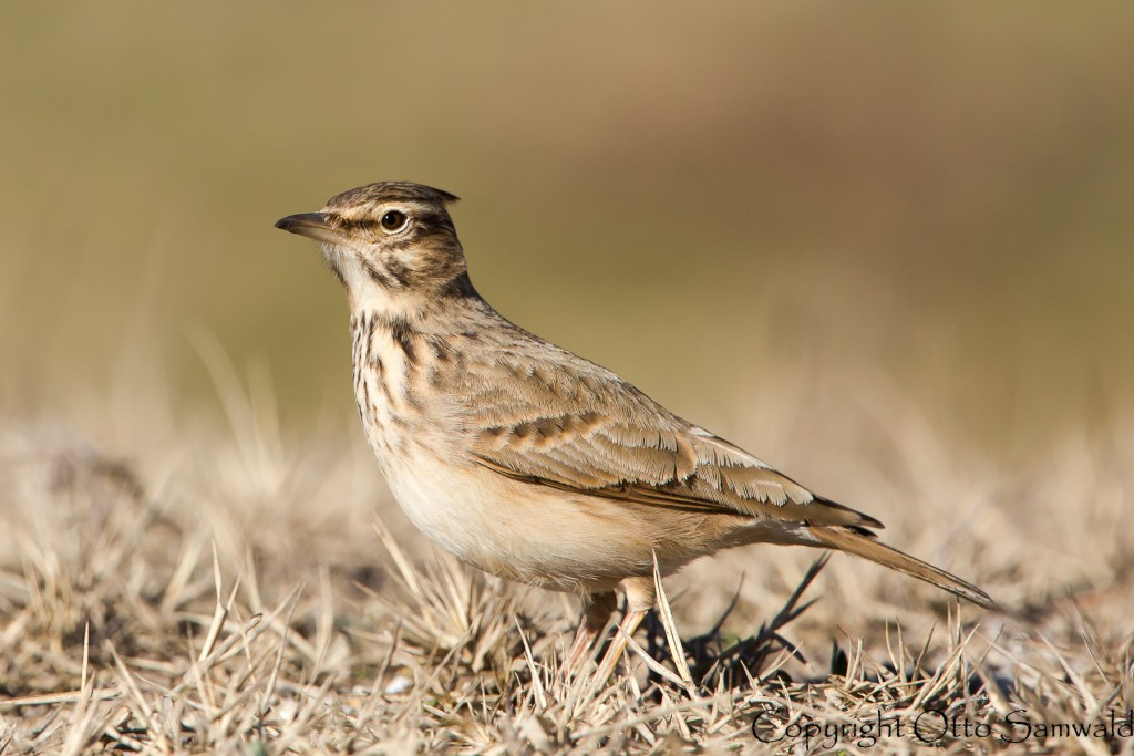 Crested Lark is widespread, darker, and slim-billed compared to its cousin the Maghreb Lark. They do overlap in Morocco. this sharp image was taken by Otto Samwald in Greece.
