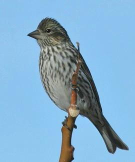 Unknown Finch