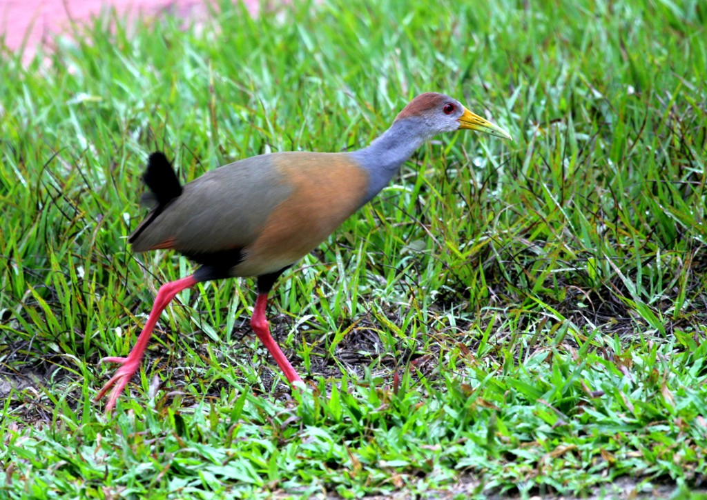 The split of Russet-naped Wood-Rail (here) and Gray-cowled Wood-Rail (below) from Gray-necked Wood-Rail was a surprise. The russet nape is the best known and most consistent field mark, apparently, but much remains to be learned about the identification of this cryptic pair. Is the chestnut upper back shown here a helpful field mark? Photo Michael Hooper/Macaulay Library.