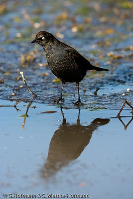 Rusty Blackbird male