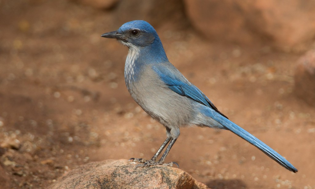 Woodhouse's Scrub-Jay is slimmer, narrower-billed, duskier below, and has a less distinct bluish breast spur than California Scrub-Jay. Photo by Chris Wood.