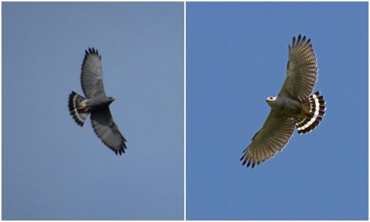 The two species can be quite similar in flight. On the left an adult Gray Hawk from Honduras (photo © John van Dort). On the right, an adult Gray-lined Hawk from French Guiana (photo © Michel Giraud-Audine). Note the darker underparts and underwing coverts of the Gray Hawk, compared to the Gray-lined Hawk, and the dark trailing edge of the wings of the Gray hawk, absent in the Gray-lined Hawk. The primary tips look solid dark in Gray Hawk, barred and less contrasting in the Gray-lined Hawk. According to Millsap et al. (2011), the subterminal tail band tends to be wider in the Gray-lined Hawk, but there is some variation and overlap in this character, so it should not be used as a diagnostic field mark.