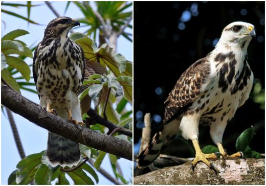 Left: juvenile Gray Hawk from Heredia, Costa Rica. Photo © Octavio Quiros. Right: juvenile Gray-lined Hawk from French Guiana. Photo © Michel Giraud-Audine. Compare head patterns: strong versus thin malar stripe; buffy versus white auriculars; dark versus pale crown. Compare also streaking on underparts: even versus concentrated in darker areas ('blobs'). The darker areas on the upper breast are obvious on this juvenile Gray-lined Hawk, but the darker areas on the lower belly are less visible. Compare the width of the pale bands in the tail: narrower on the juvenile Gray Hawk and wider on the juvenile Gray-lined Hawk.