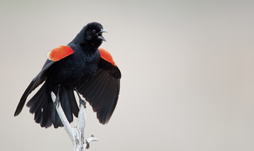 Every bird counts in eBird! Whether it is a Red-winged Blackbird in your yard, or a critically endangered species on some island – we want to hear about it!
