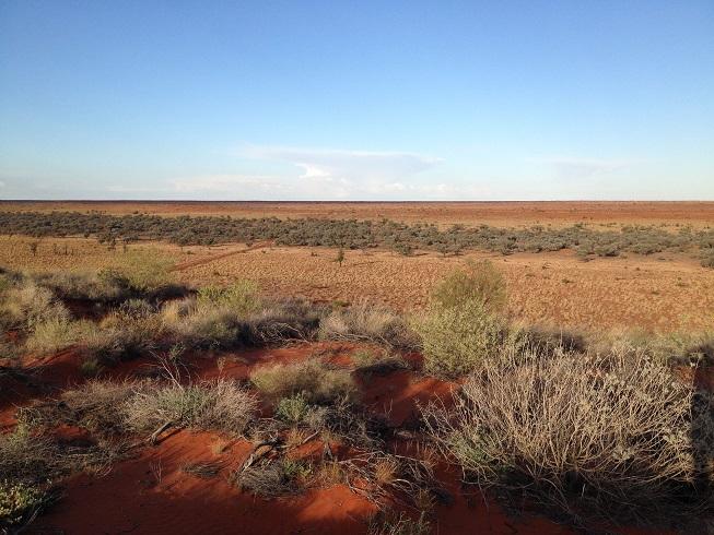 Dune cane grass at Ethabuka Reserve (Photo by Margaret Alcorn)