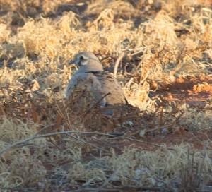 Flock Bronzewing (Photo by Margaret Alcorn)