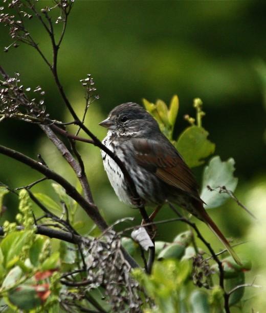 Figure 5. Slate-colored Fox Sparrow from Glenwood, Klickitat, WA 26 May 2013.