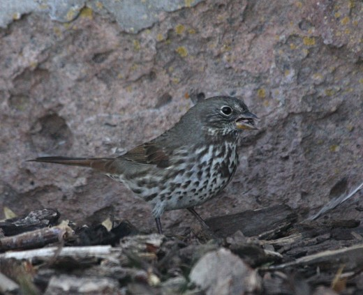 Figure 6. Slate-colored Fox Sparrow from Malheur, OR 14 Sep 2015.
