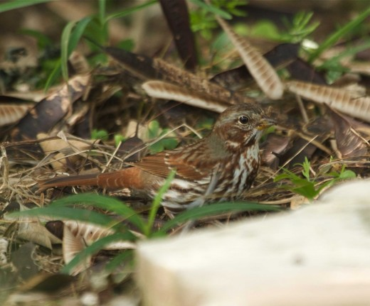 Figure 7. Red Fox Sparrow from South Padre Island, Cameron Co., TX 13 Nov. 2011.