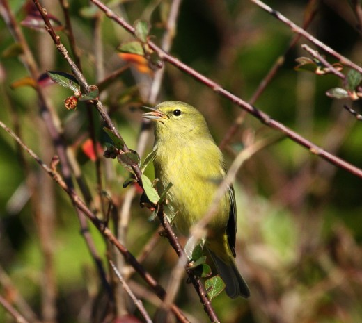 Typical winter lutescens, photographed at Astoria, OR on 11/28/15 by Dave Irons. Note fairly uniform bright yellow underparts, yellowish eye arcs and supercilium and absence of the hooded appearance.