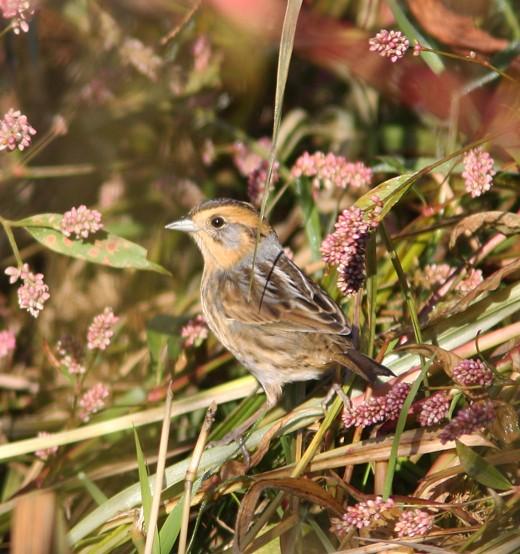 Nelson's Sparrow by Tom Prestby