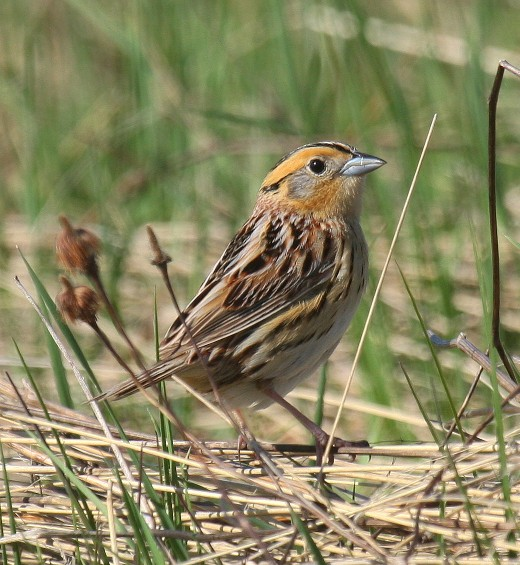 Le Conte's Sparrow by Nick Anich