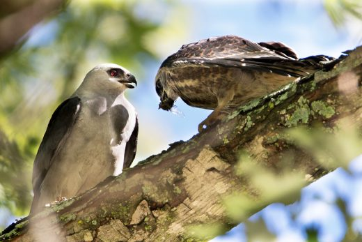 An adult Mississippi Kite feeds a cicada to the recently fledged chick. Photo by Scott Weberpal.