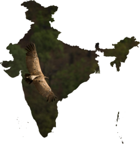 India-outline-vulture-280