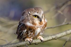 Northern Saw-whet Owl Captive (_MG_3708)