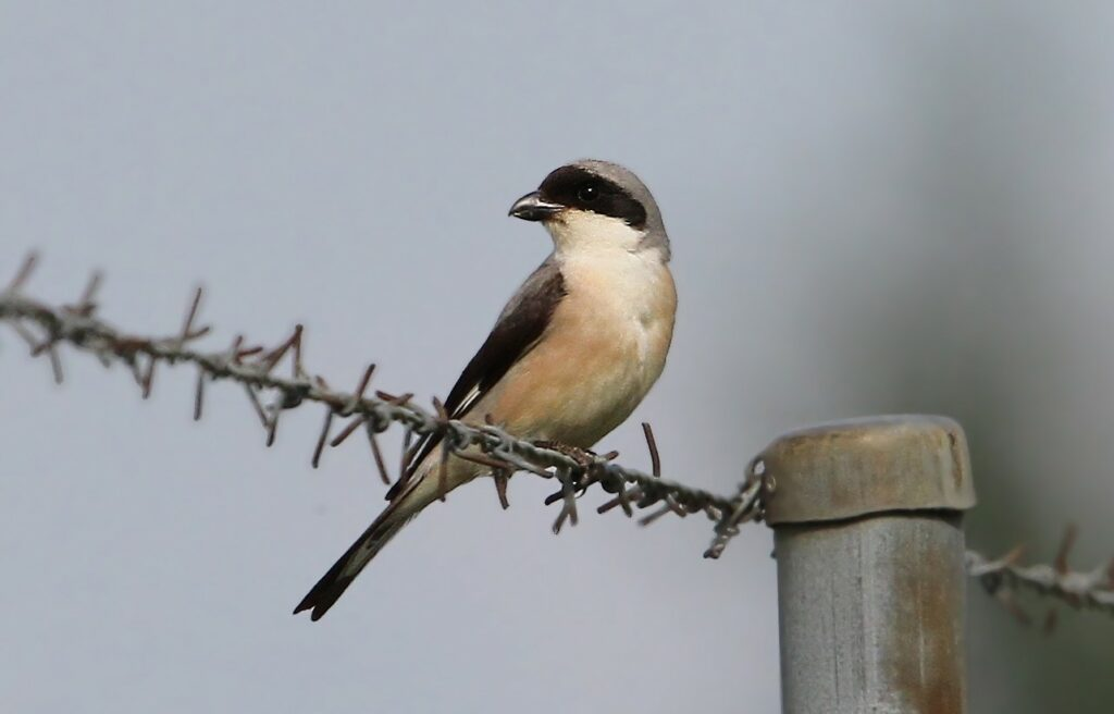 Lesser Gray Shrike Lanius minor by Christoph Moning (ML26514221)