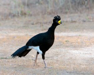 Bare-faced Curassow (Crax fasciolata) ML124114701
