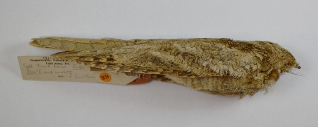 Vaurie's Nightjar Caprimulgus centralasicus