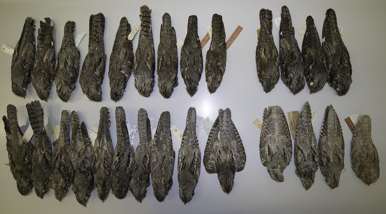 Caprimulgus centralasicus skins