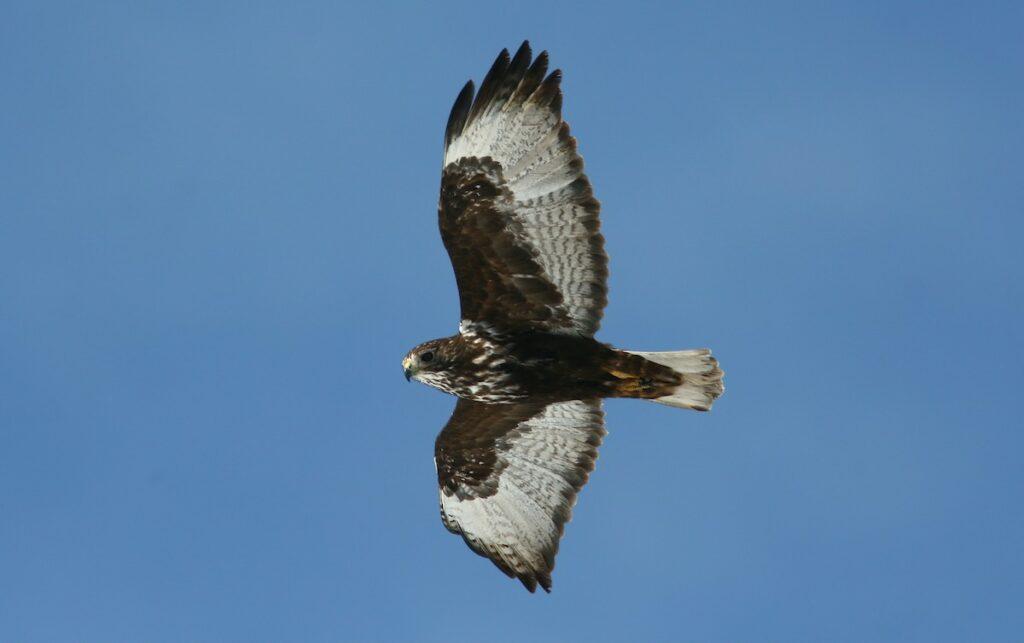 Red-tailed Hawk (Harlan's) Buteo jamaicensis harlani ML242020371