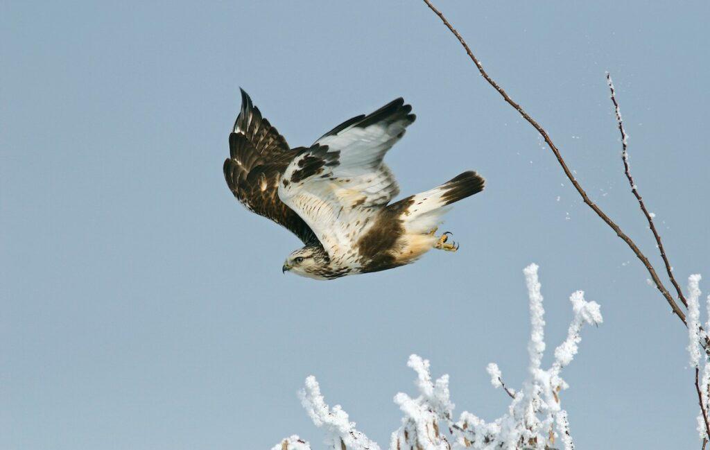 Rough-legged Hawk (Buteo lagopus) ML244216171