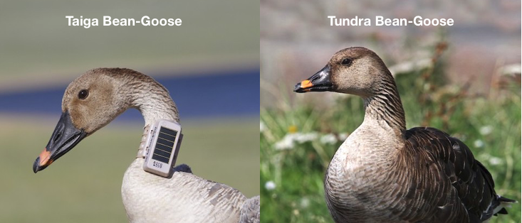 Tundra and Taiga Bean-Geese