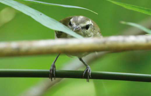 Selayar Leaf Warbler by James Eaton