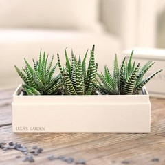 "Original Zebra Garden ""Happy Birthday"" Succulent Box"