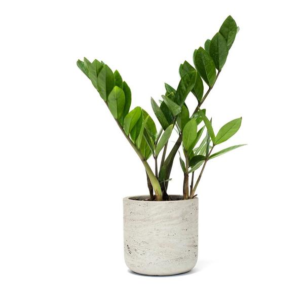 ZZ Plant in Concrete Pot