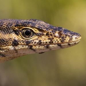afad62c825f Australia s reptiles threatened by invasive species
