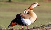 Egyptian Goose (Alopochen aegyptiaca). Photo: Tim Blackburn.