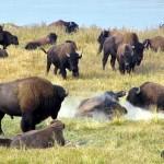 buffalo-yellowstone-150x150