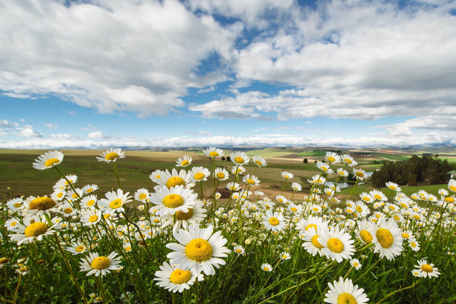 Daisies in the midlands