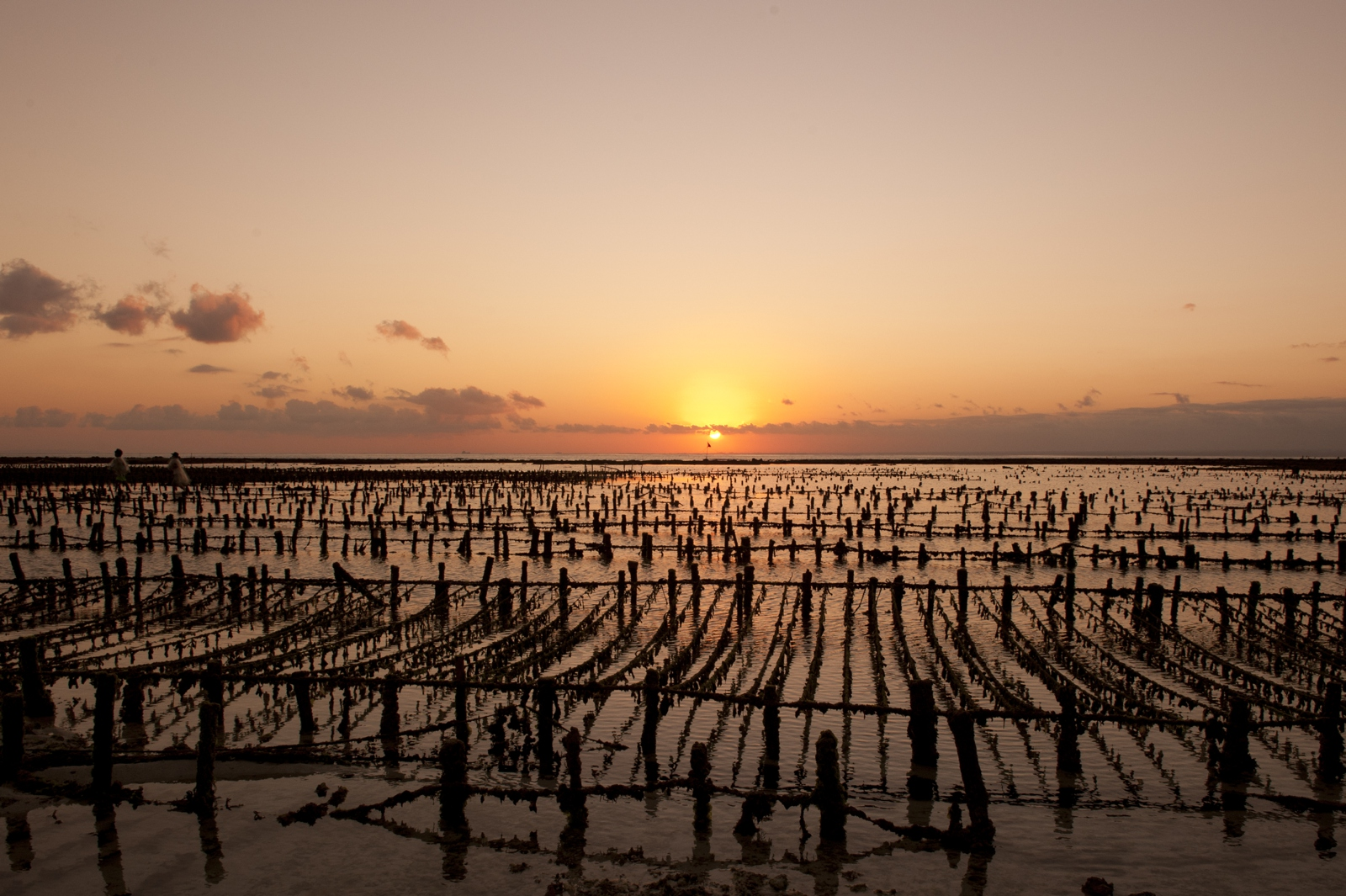 Seaweed farm at sunset on low tide