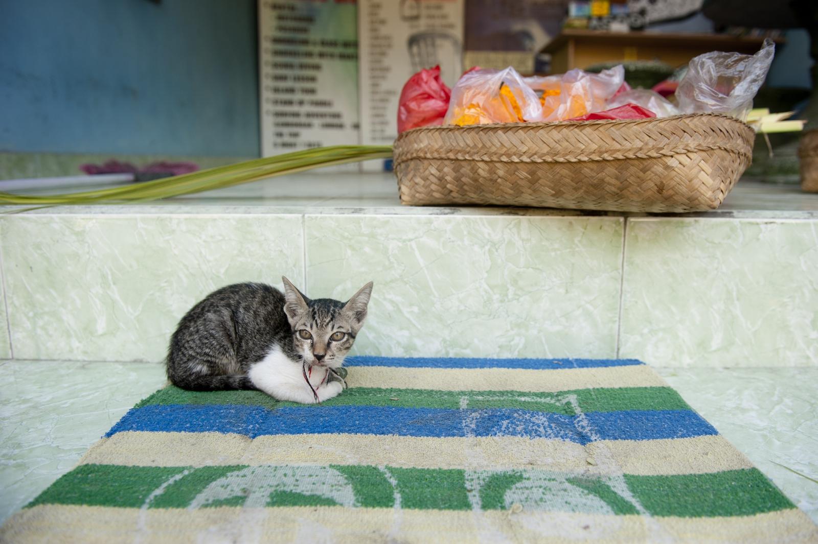 Kitten in Bali