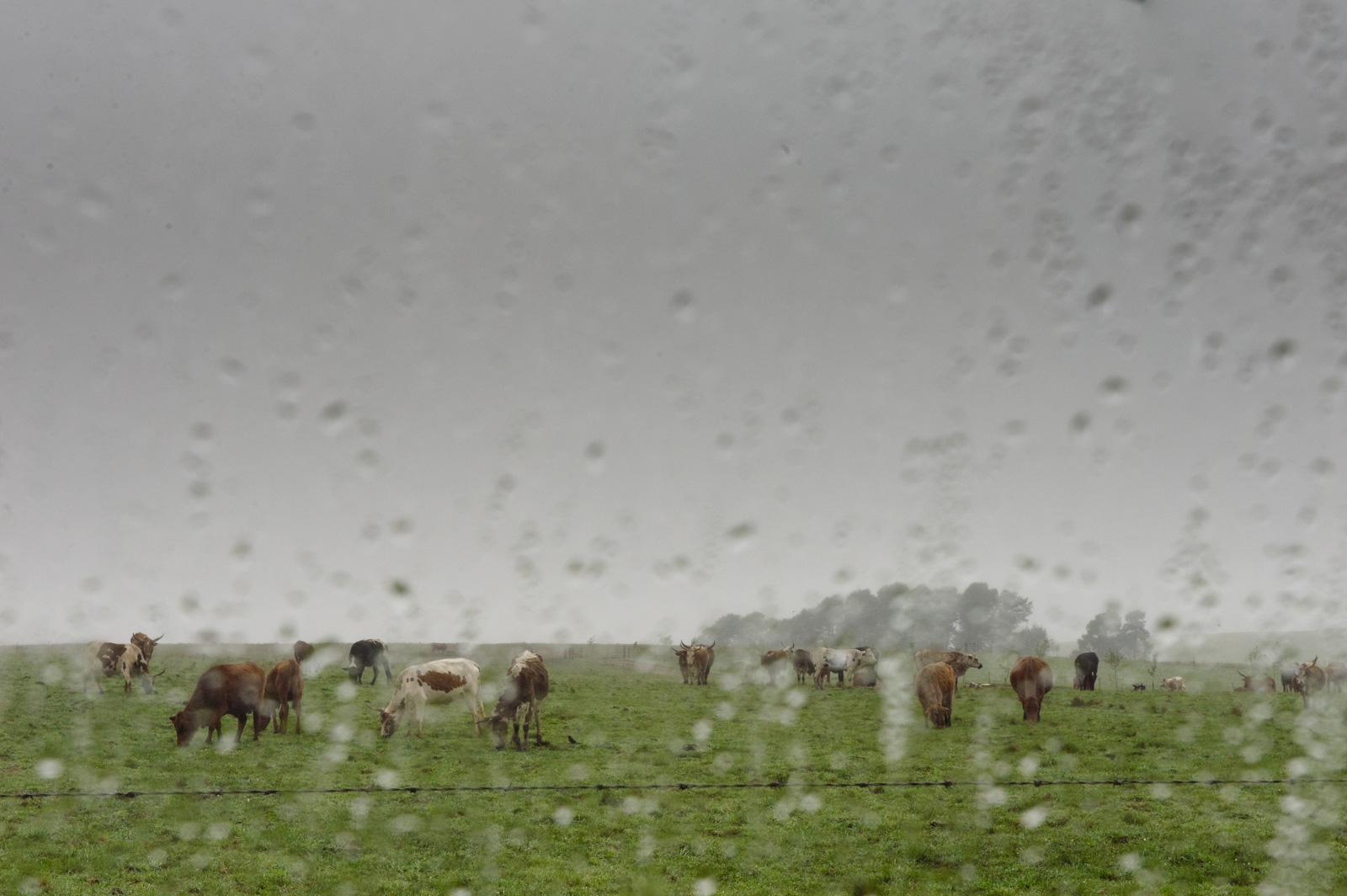 Cows in rain