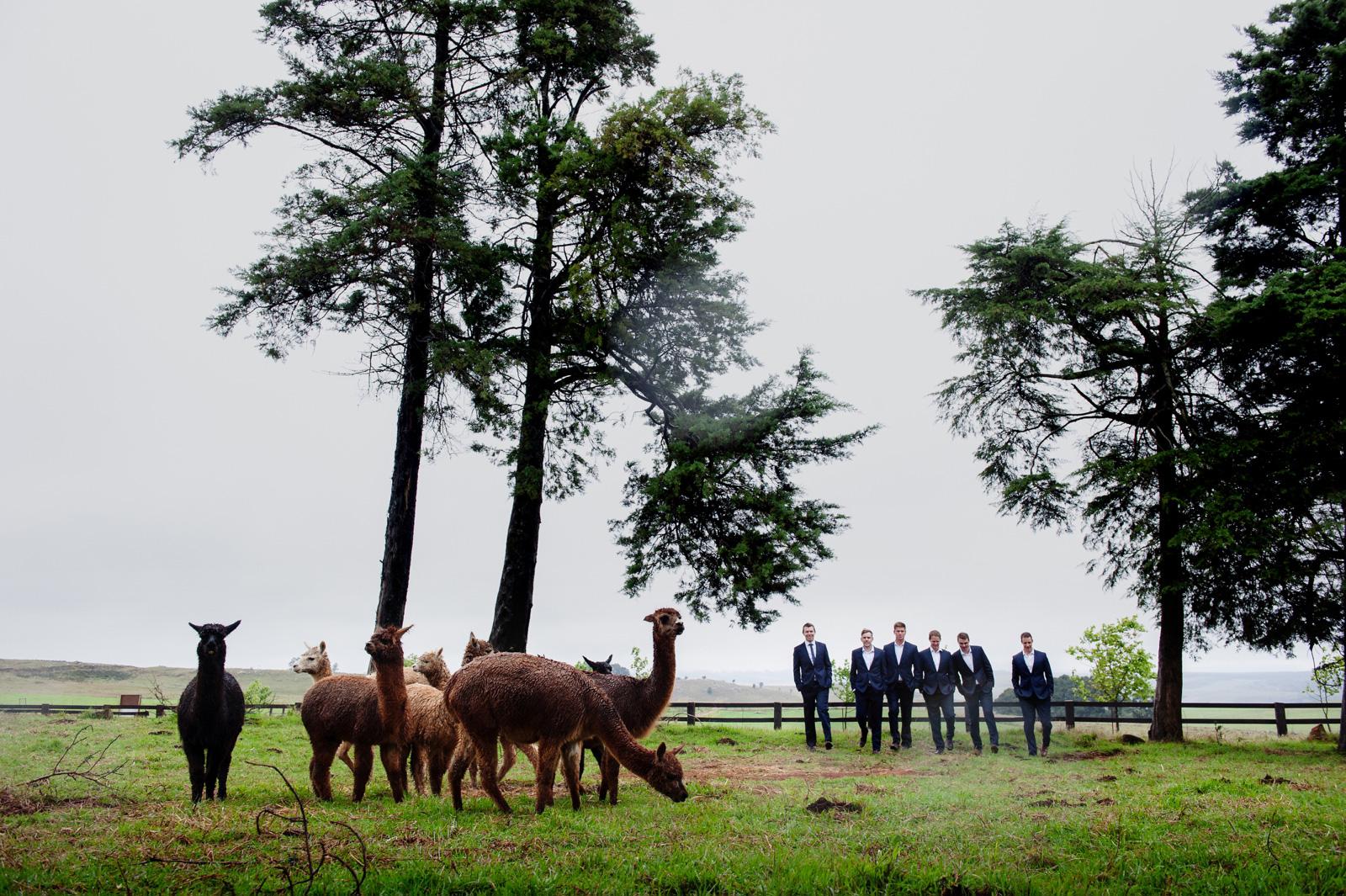 Groomsmen with lama