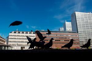 City Pigeons