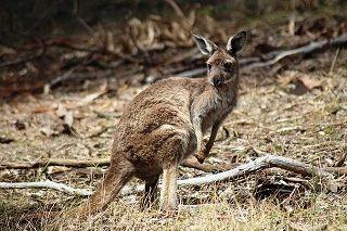 off-season travel see a kangaroo