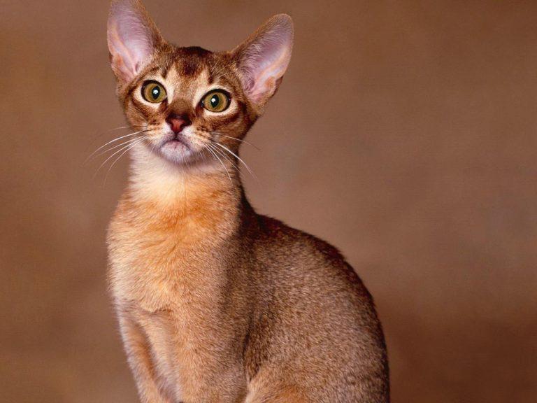 gatos-abissinios-4