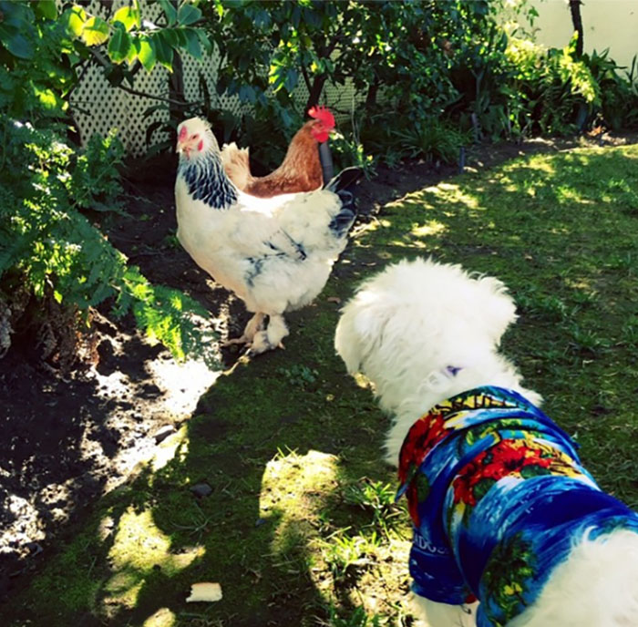 Nugget hanging out with the friendly neighborhood chickens resized