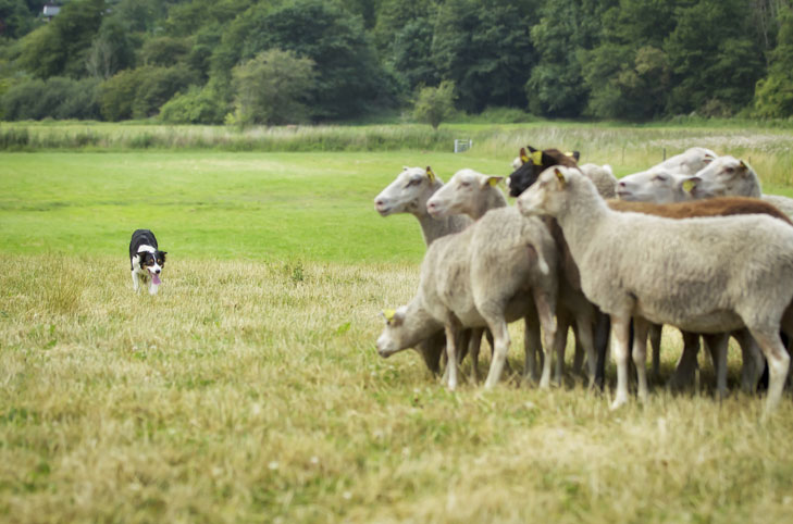 Border-Collie sheep3