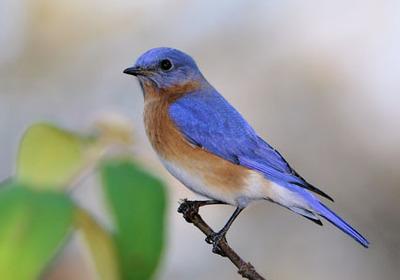 Medium eastern bluebird 11
