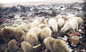 Polar Bears invade Belushya Guba