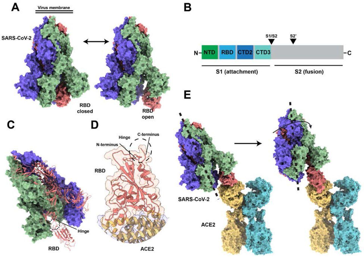 Coronavirus, spike, protein, n-terminus, c-terminus.