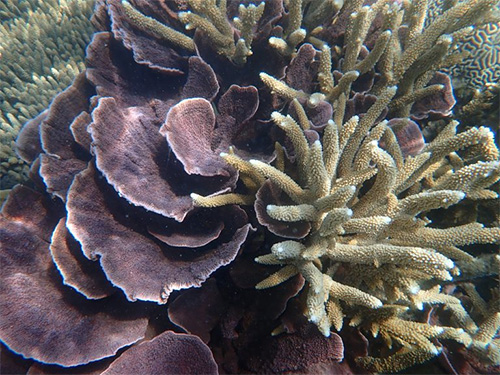Acropora Coral, STone island.