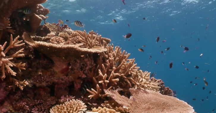 Corals, Great Barrier Reef, Ribbon's Edge, IPA, photo 2020.