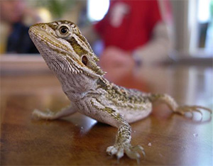 Bearded Dragon, photo.